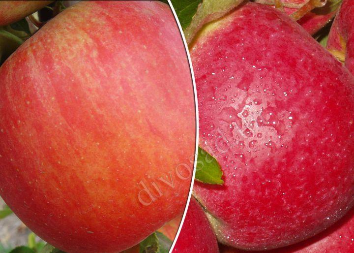 КРУПНОМЕРЫ. Плодовые деревья «Яблоня ЧЕМПИОН РЕНО+ПЕРЛИНА КИЕВА, 3 года»