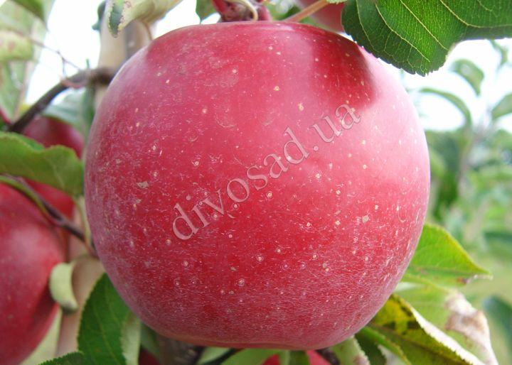 КРУПНОМЕРЫ. Плодовые деревья «Яблоня ГРАФ ЭЗЗО, 4 года»