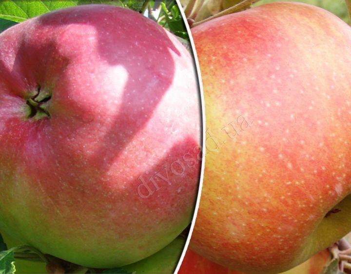 КРУПНОМЕРЫ. Плодовые деревья «Яблоня ЛИГОЛ+ЧЕМПИОН, 3 год»
