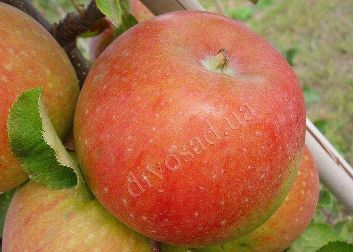 КРУПНОМЕРЫ. Плодовые деревья «Яблоня МАВКА, 3 года»