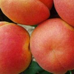 Ранние сорта абрикоса БАНЗАЙ, 2 года