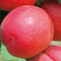 Сорта абрикоса с высокой зимостойкостью ПРИЦИЯ, 2 года