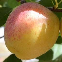Сорта абрикоса с высокой зимостойкостью ШЕДЕВР*, контейнер 7л