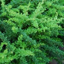 БАРБАРИС зеленый - Green carpet, 3 года
