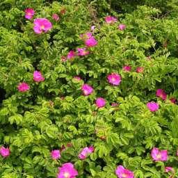 ДЕКОРАТИВНЫЕ растения РОЗА-РУГОЗА пурпурная