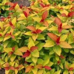 ДЕКОРАТИВНЫЕ растения Спирея японская ГОЛДФЛЕЙМ, 2 года