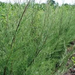 ДЕКОРАТИВНЫЕ растения ТАМАРИКС, 2 года