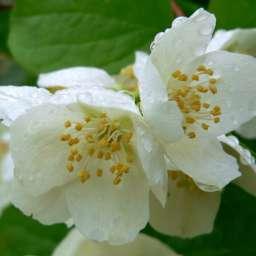 ДЕКОРАТИВНЫЕ растения ЧУБУШНИК  крупноцветковый
