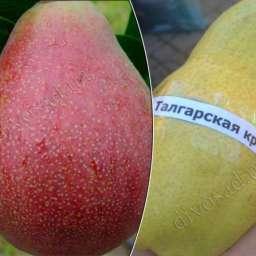 КРУПНОМЕРЫ. Плодовые деревья Груша ТАЛГАРСКАЯ красавица+РЕД фаворитка, 3 года