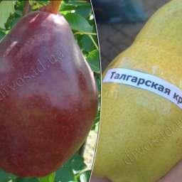 ТАЛГАРСКАЯ красавица+СТАРКРЫМСОН, подвой - груша, 2 года