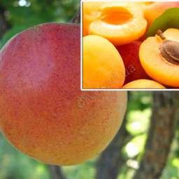 КРУПНОМЕРЫ. Плодовые деревья Абрикос Красень Киева, 4 года+ абрикос Монастырский, Дерево-сад