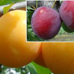 КРУПНОМЕРЫ. Плодовые деревья Алыча  Гек, 3 года+ алыча Обильная, Дерево-сад*