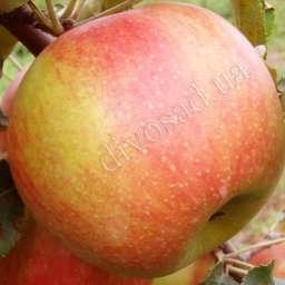 КРУПНОМЕРЫ. Плодовые деревья Яблоня ЧЕМПИОН
