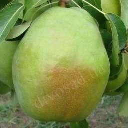КРУПНОМЕРЫ плодовые Груша ИЗУМРУДНАЯ, 4 года