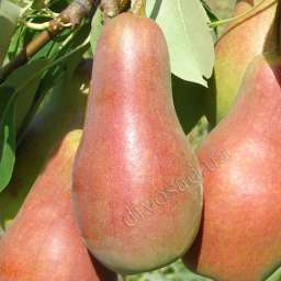 КРУПНОМЕРЫ. Плодовые деревья Груша ТАЛГАРСКАЯ КРАСАВИЦА, 3 года, подвой груша
