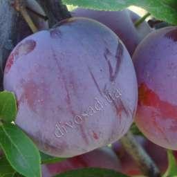 КРУПНОМЕРЫ. Плодовые деревья Слива РЕНКЛОД АЛЬТАНА, 3 года