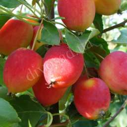 КРУПНОМЕРЫ плодовые Яблоня ДОЛГО, 4 года