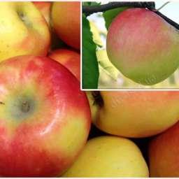 КРУПНОМЕРЫ. Плодовые деревья Яблоня КАНЗИ, 3 года+ СКИФСКОЕ ЗОЛОТО, Дерево-сад