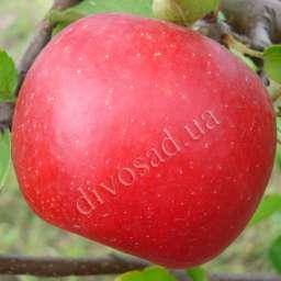КРУПНОМЕРЫ плодовые Яблоня  БОГЕМИЯ, 3 года