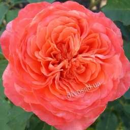 Персиковые, жёлтые, оранжевые сорта парковых  роз ЭМИЛЬЕН ГИЙО