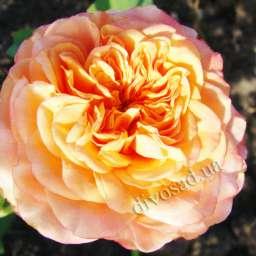 Персиковые, жёлтые, оранжевые сорта парковых  роз ЛА ВИЛЛА КОТТА