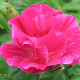 Роза ПАРКОВАЯ ГИ САВОЙ (Delbard)