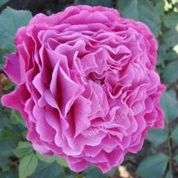 Роза ПАРКОВАЯ ВЕНТИЛО