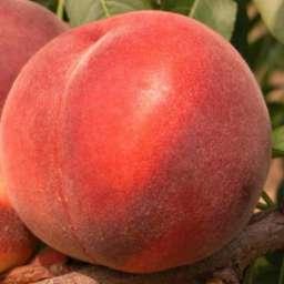 Средние сорта персика АЛИРОСАДА, 1 год