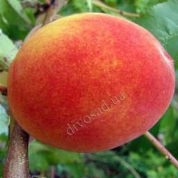 Поздние сорта персика КРЕСТ ХЕЙВЕН, 2 года