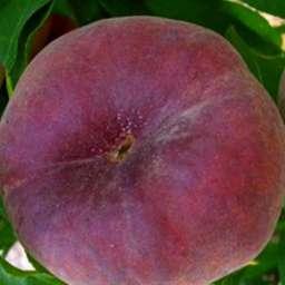 Инжирные сорта персика ПИНК РИНГ, 2 года