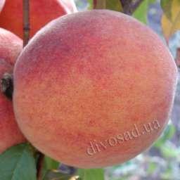 КРУПНОМЕРЫ. Плодовые деревья Персик ПИНК ПИЧ, 3 года