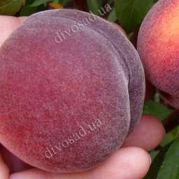 Однолетние саженцы  персика РЕД РОБИН /красномясый, 1 год
