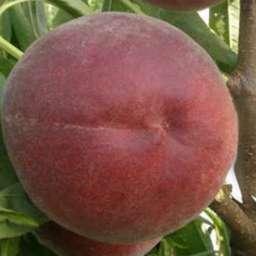 КРУПНОМЕРЫ. Плодовые деревья Персик РОЯЛ МАДЖЕСТИК, 3 года