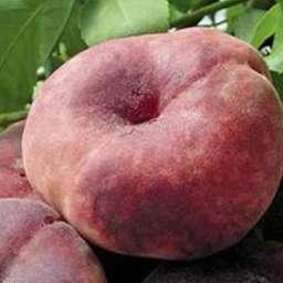Инжирные сорта персика САТУРН (инжирный), 2 года