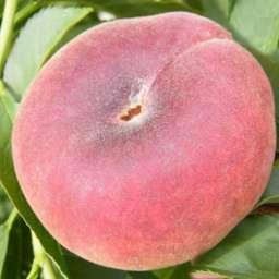 Инжирные сорта персика СВИТ РИНГ,  контейнер 7 л