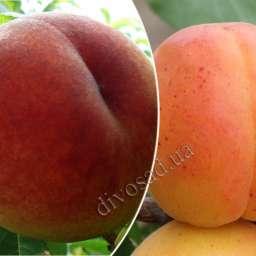 Поздние сорта персика ТОП СВИТ/Т-5+абрикос ПЕТРОПАВЛОВС КИЙ*, Дерево-сад