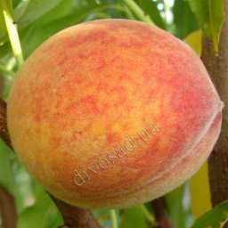 Средние сорта персика Твард Тардив Т-2, 2 года