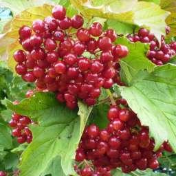 КРУПНОМЕРЫ. Плодовые деревья КАЛИНА САДОВАЯ, 3 года