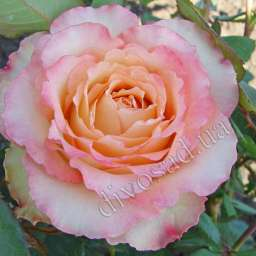 Роза в КОНТЕЙНЕРЕ ДУЭТ  /контейнер 5 л