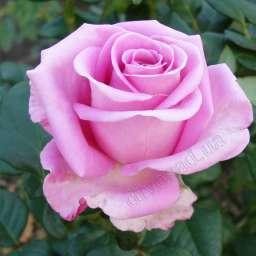 Роза в КОНТЕЙНЕРЕ АКВА  /контейнер 5 л