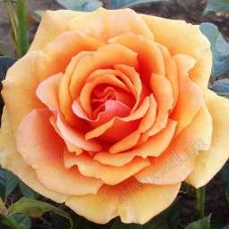 Роза ЧАЙНО-ГИБРИДНАЯ И ФЛОРИБУНДА АШРАМ