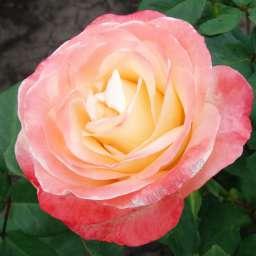 Роза в КОНТЕЙНЕРЕ БЕЛЛА ПЕРЛА /контейнер 5 л