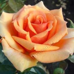 роза ашрам описание и фото