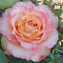Роза ЧАЙНО-ГИБРИДНАЯ И ФЛОРИБУНДА ДУЭТ