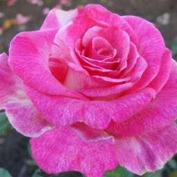 Роза ЧАЙНО-ГИБРИДНАЯ И ФЛОРИБУНДА ВЕРДИ