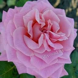 Роза ЧАЙНО-ГИБРИДНАЯ И ФЛОРИБУНДА ЭШЛИ