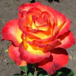 Роза ЧАЙНО-ГИБРИДНАЯ И ФЛОРИБУНДА ВЫСШЕЕ ОБЩЕСТВО