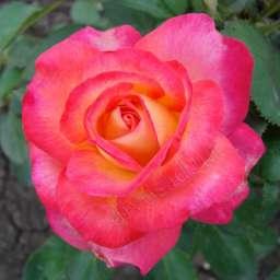 Роза ЧАЙНО-ГИБРИДНАЯ И ФЛОРИБУНДА ЛИПСТИК