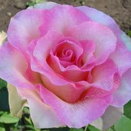 Роза ЧАЙНО-ГИБРИДНАЯ И ФЛОРИБУНДА МАЛИБУ