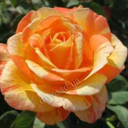 Пёстрые сорта роз МАРВЕЛЛ